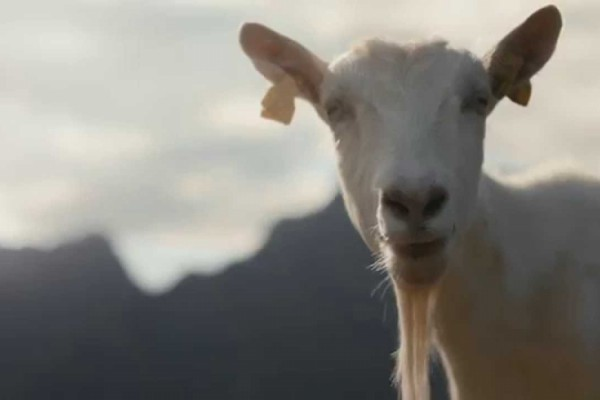 Tine Goat Cheese Commercial